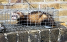 Polecat ferret (hybrid)