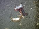 Weasel <em>Mustela nivalis</em> :: Weasel and mouse