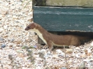 Stoat <em>(Mustela erminea)</em>