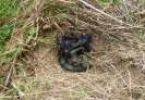 Badger latrine