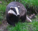 Badger <em>Meles meles</em> :: Badger <em>(Meles meles)</em>