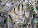 Fox foot print