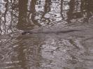 Otter <em>(Lutra lutra)</em> swimming