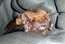 Noctule Bat <em>Nyctalus noctula</em> :: Noctule bat
