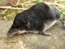 Water shrew (deceased)