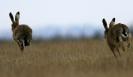 Brown Hare <em>Lepus europaeus</em> :: Brown Hare <em>Lepus europaeus</em>