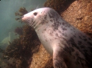 Pinnipedia (Seals) :: Grey seal pup