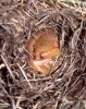 Dormouse (<em>Muscardinus avellanarius)</em> in hibernation
