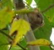 Hazel Dormouse <em>Muscardinus avellanarius</em> :: Hazel Dormouse