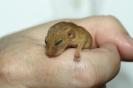 Hazel Dormouse <em>Muscardinus avellanarius</em> :: Hazel Dormouse (juvenile) <em>(Muscardinus avellanarius)</em>