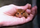 Hazel dormouse <em>(Muscardinus avellanarius)</em> in hand
