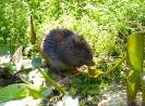 Water Vole <em>(Arvicola terrestris)</em> feeding