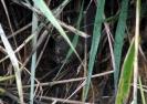Shy water vole