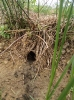Water vole burrow and latrine