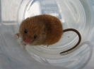 Rodentia (Mice, Voles etc) :: Harvest Mouse