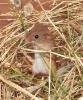 Harvest Mouse <em>(Micromys minutus)</em>