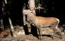 Red Deer <em>Cervus elaphus</em> :: Red deer <em>(Cervus elaphus)</em> stag