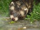 Polecat / Ferret