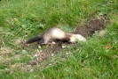 Carnivora (Otter, Fox etc) :: Ferel ferret