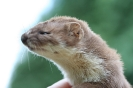 Weasel (photo2)