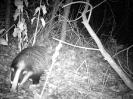 Badger <em>Meles meles</em> :: Badger