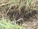 Badger <em>Meles meles</em> :: Badger Latrine