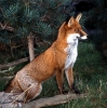 Fox <em>Vulpes vulpes</em> :: Red Fox <em>(Vulpes vulpes)</em>