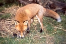 Carnivora (Otter, Fox etc) :: Red Fox <em>(Vulpes vulpes)</em>