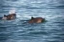 Harbour Porpoise <em>(Phocoena phocoena)</em>
