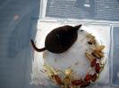 Insectivores (Shrews, Moles, etc.) :: Pygmy Shrew
