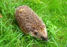 Hedgehog <em>Erinaceus europaeus</em> :: Hedgehog