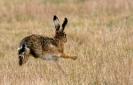 Lagomorpha (Rabbits, Hares, etc.) :: Brown Hare <em>Lepus europaeus</em>