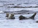 Grey Seal <em>Halichoerus grypus</em> :: Grey Seal