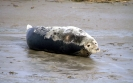 Grey Seal <em>Halichoerus grypus</em> :: Grey seal
