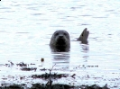 Pinnipedia (Seals) :: Common Seal