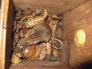 Rodentia (Mice, Voles etc) :: Yellow-necked Mouse <em>(Apodemus flavicollis)</em>