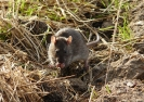 Common or Brown Rat