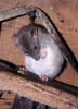 Common Rat <em>Rattus norvegicus</em> :: Brown Rat <em>(Rattus norvegicus)</em>