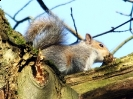 Grey Squirrel <em>Sciurus carolinensis</em> :: Grey Squirrel