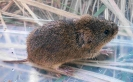 Field Vole <em>Microtus agrestis</em> :: Examining a Field Vole <em>(Microtus agrestris)</em>