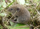 Bank Vole <em>Myodes glareolus</em> :: Bank vole