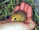 Hazel Dormouse <em>(Muscardinus avellanarius)</em>