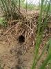 Water Vole <em>Arvicola terrestris</em> :: Water vole burrow and latrine