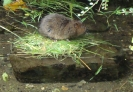 Young Water Vole