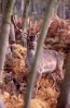 Fallow deer <em>(Dama dama)</em> stag in winter coat