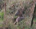 Roe Deer <em>Capreolus capreolus</em> :: Roe Buck <em>(Capreolus capreolus)</em>