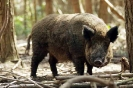Wild Boar <em>Sus scrofa</em> :: Taken at Wildwood